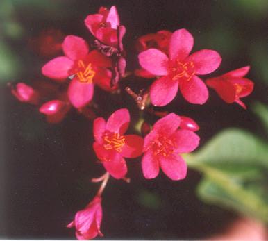 Picture of Jatropha integerrima