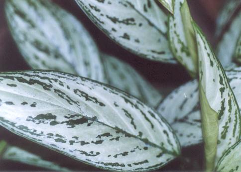 Picture of Aglaonema
