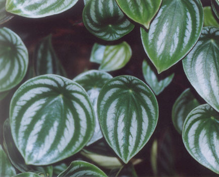 Picture of Peperomia