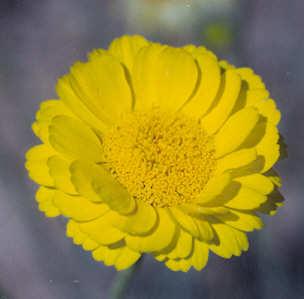Picture of Baileya multiradiata