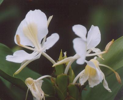 Picture of Hedychium coronarium