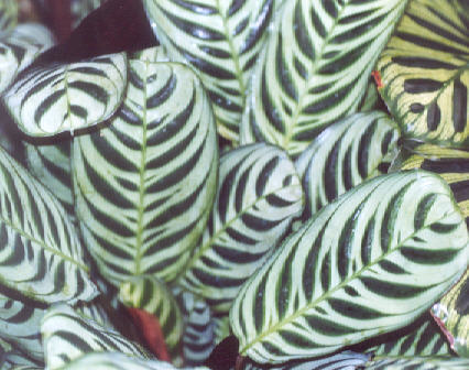 Picture of Calathea