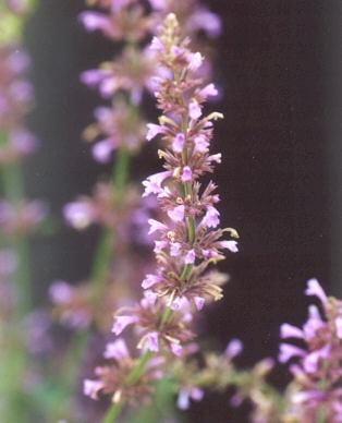Picture of Agastache pringlei var. verticillata