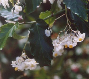 Picture of Begonia undulata