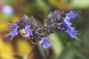 Picture of Caryopteris x clandonensis