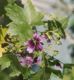 Picture of Lavatera assurgentiflora