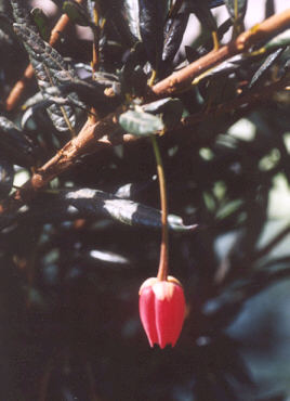 Picture of Crinodendron hookerianum