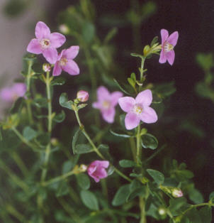 Picture of Boronia crenulata