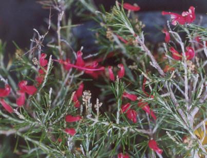 Picture of Grevillea rosmarinifolia