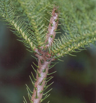 Picture of Araucaria heterophylla