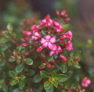 Picture of Escallonia rubra