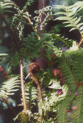 Picture of Cyathea cooperi