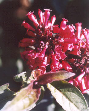 Picture of Cestrum