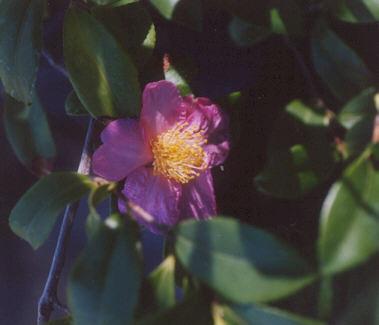 Picture of Camellia hiemalis