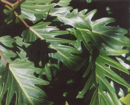 Picture of Philodendron x xanadu