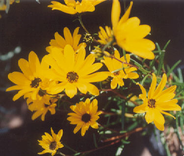 Picture of Helianthus salicifolius
