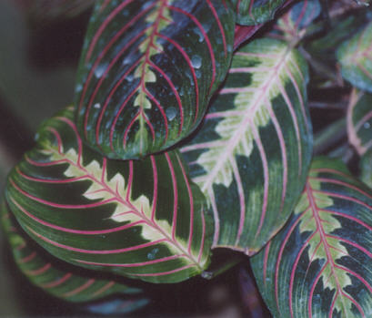 Picture of Calathea roseopicta