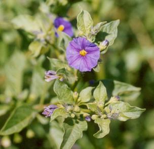 Picture of Solanum rantonettii