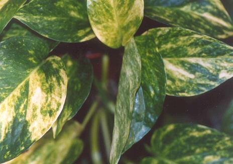 Picture of Epipremnum pinnatum