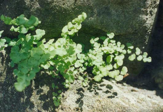 Picture of Adiantum capillus-veneris