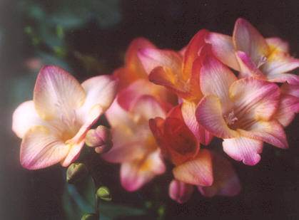 Picture of Freesia hybrid