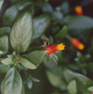 Picture of Manettia bicolor