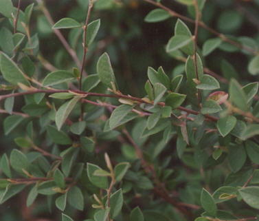 Picture of Cotoneaster parneyi