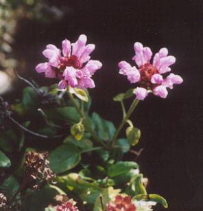 Picture of Prunella webbiana