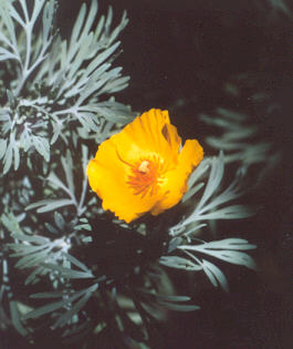 Picture of Hunnemannia fumariifolia
