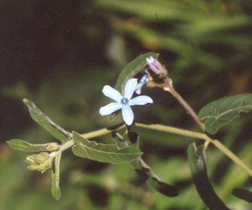 Picture of Oxypetalum caerulea