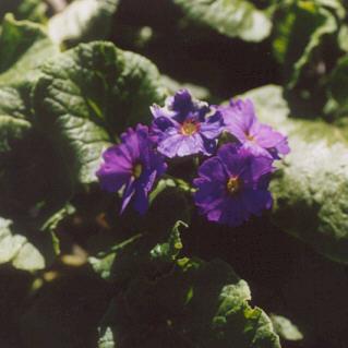 Picture of Primula obconica
