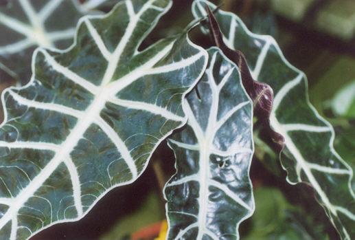Picture of Alocasia amazonica