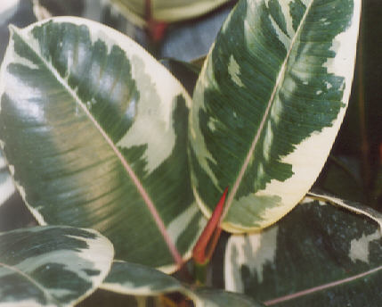 Picture of Ficus elastica