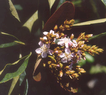 Picture of Eriobotrya japonica