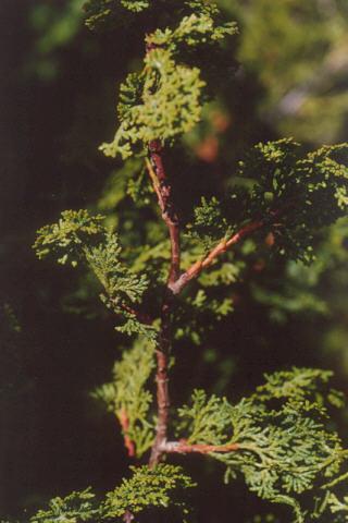Picture of Chamaecyparis cyano-virde