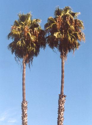 Picture of Washingtonia robusta