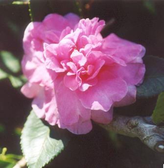 Picture of Camellia japonica