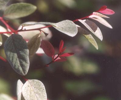 Picture of Breynia nivosa
