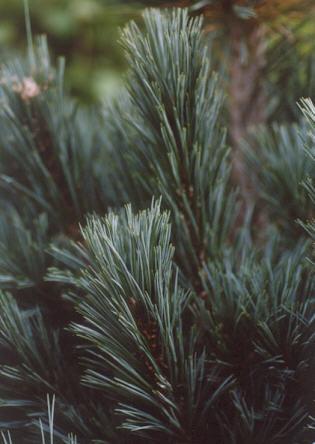 Picture of Pinus flexilis