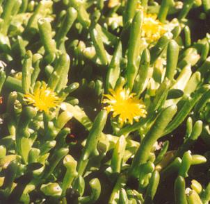 Picture of Glottiphyllum cruciatum