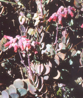 Picture of Kalanchoe mariniera