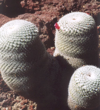 Picture of Mammillaria haageana