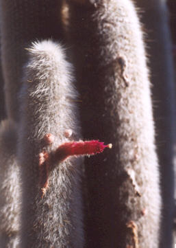 Picture of Cephalocereus senilis