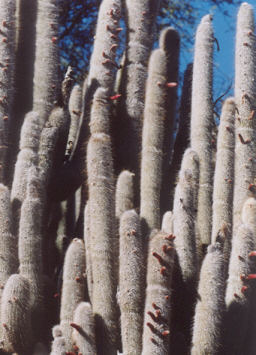 Picture of Cleistocactus strausii