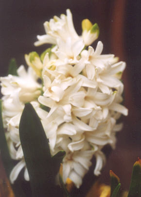 Picture of Muscari botryoides