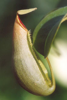 Picture of Nepenthes sp.