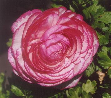 Picture of Ranunculus asiaticus
