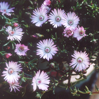 Picture of Carpobrotus
