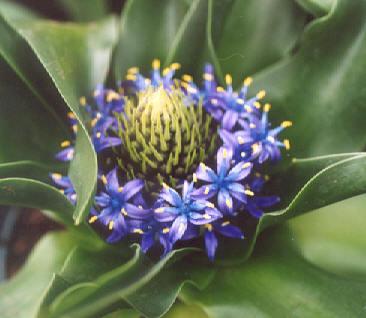 Picture of Scilla peruviana