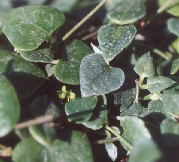 Picture of Ceropegia woodii